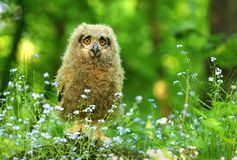 Baby horned owl in flowers Royalty Free Stock Photos