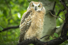 Baby Horned Owl Royalty Free Stock Image