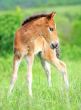 Baby horse. 1 day. Wild horse Colt standing alone in a meadow Stock Image