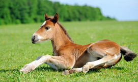 Baby horse. 1 day. Wild horse Colt standing alone in a meadow royalty free stock images