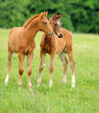 Baby horse. 1 day. Wild horse Colt standing alone in a meadow Stock Images