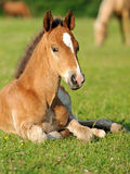 Baby horse. 1 day. Wild horse Colt standing alone in a meadow Royalty Free Stock Photo