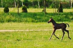 Baby horse Royalty Free Stock Photos