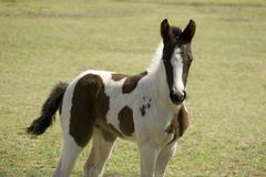 Baby Horse. Young spotted horse in pasture.  Approx 2 weeks old Stock Images