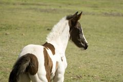 Baby Horse. Young spotted horse in pasture.  Approx 2 weeks old Royalty Free Stock Photos