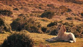 Baby Horse Awkwardly Gets Up And Walks Off. Very young foal in sunny wilderness gets up shakily and leaves stock footage