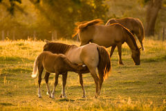 Baby Horse Feeding Royalty Free Stock Image