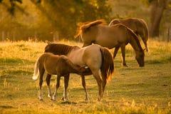 Baby Horse Feeding Royalty Free Stock Image