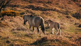 Baby Horse Follows Its Mother At Sunset. Foal follows closely behind its mother up a hillside stock video