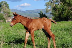 Baby horse. In grassy field, mountains, trees, and blue sky in background Stock Photography
