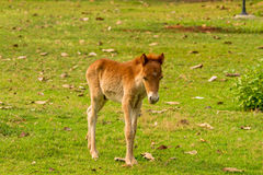 Baby horse in green grass. In natural light Stock Image