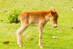 Baby horse in green grass. In natural light Stock Images
