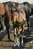 Baby Horse & Herd. A little filly stands with a herd in the light of early morning (shallow focus royalty free stock photo