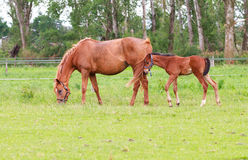 Baby horse and mare equine. A foal grazing in the field with an antentive mother Stock Photo