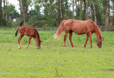 Baby horse and mare equine. A foal grazing in the field with an antentive mother Stock Image