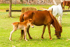 Baby horse with mother in green grass. In natural light Royalty Free Stock Images
