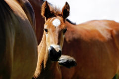 Baby Horse Peeking. A baby horse takes a chance to peak out from behind its mother and the rest of the herd royalty free stock photography