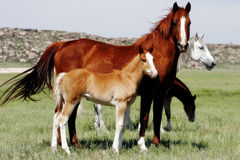 Baby Horses with Mothers. Mother horses watch over their young while grazing in the American West royalty free stock photos