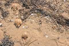 Baby Horseshoe Crabs. Off Cape Cod Beach Stock Images