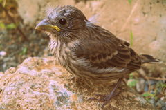 Baby House Finch Posing Bird Stock Photography