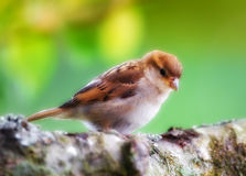 Baby house sparrow Stock Photos
