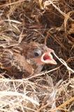 Baby house sparrow close up Royalty Free Stock Photos