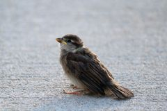 Baby House Sparrow. Small brown baby house sparrow sitting on concrete in the morning sun Stock Image