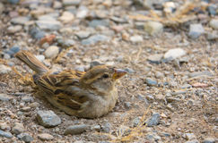 Baby House Sparrow taking a sand bath Royalty Free Stock Images