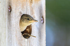 Free Baby House Wren Peeking Out Of A Bird House Stock Image - 98041041