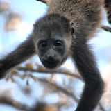Baby Howler Monkey. (alouatta palliata) cautiously watching royalty free stock images