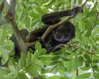 Baby howler monkey looking down royalty free stock photos