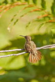 Baby hummingbird Stock Images