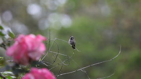 Baby hummingbird falls off perch. Fledgling is distracted by the territorial sounds of a titmouse and loses its balance stock video