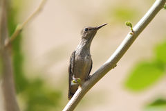 Baby Hummingbird moments after leaving nest Stock Images