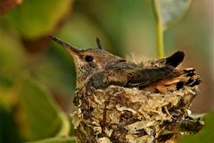 Baby hummingbird nest. Open eyed baby hummingbirds sit in nest waiting for food from their Stock Photo
