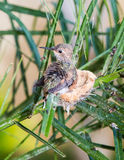 Baby Hummingbird ready to leave the nest Royalty Free Stock Image