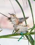 Baby Hummingbird ready to leave the nest Stock Photography