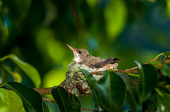 Baby hummingbird still in the nest Royalty Free Stock Images