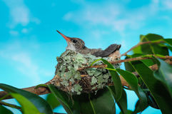 Baby hummingbird still in the nest Royalty Free Stock Photography