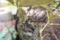 Baby Hummingbirds Nesting Royalty Free Stock Image