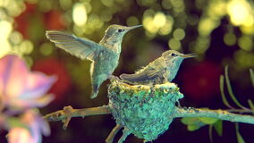 Baby hummingbirds practice flapping wings, almost ready to hover