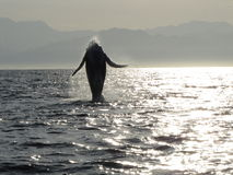 Baby Humpback Plays in the Sunlight. A newborn humpback baby leaps along the sun beam. Bay of Banderas, Mexico Stock Images