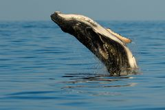 Baby humpback whale breaching. royalty free stock photo