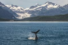 Baby Humpback Whale Diving in front of Glacier Royalty Free Stock Photography