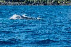 Baby humpback whale swimming close to the rocks stock photos