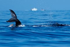 Baby humpback whale tail slapping. royalty free stock photography