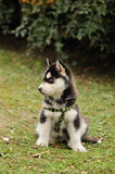 Baby Husky Royalty Free Stock Images