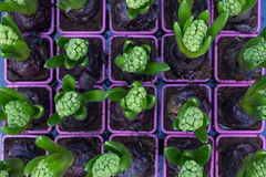 Baby hyacinth set in purple pots Royalty Free Stock Photos
