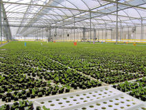 Baby Hydroponic Lettuces. Hydroponic Lettuces growing in Greenhouse Royalty Free Stock Photo