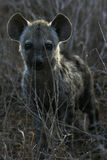 A Baby Hyena Royalty Free Stock Photo